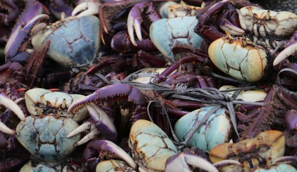 Período de defeso do caranguejo-uçá começa no domingo, 6