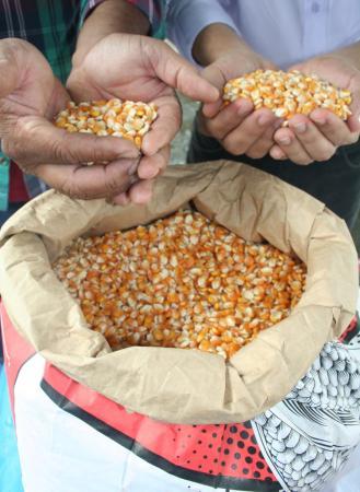 Safra de milho em 2019 poderá registrar saldo positivo em Sergipe
